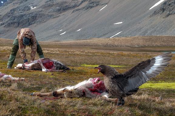 Glupsk: Sørhavsjoen er betegnet som en altetende rovfugl som er ekspert i å stjele byttet fra andre sjøfugler. De glupske joene hadde gode dager under reinsdyrjakta.
