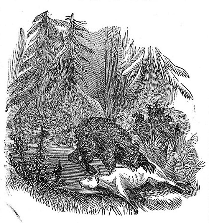 """SLAGBJØRN: Det var i 1850 at bamsen tok kua Guldokka i """"Mourelierne"""" ved Heievannet på Igland. (Illustrasjon: Ukjent)"""
