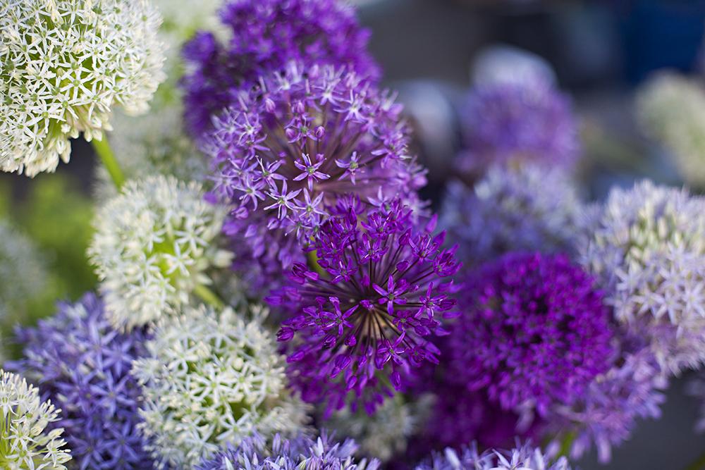 SEKS SORTER: Nå har Inger Lise Løland seks ulike sorter allium, flest av dem lilla. – Første gang jeg så blomsten tenkte jeg at det var noe av det fineste jeg hadde sett, sier hun.